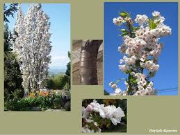 123 best narrow trees and shrubs images on plants