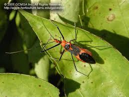 beneficial insects in the garden 06 milkweed assassin bug zelus