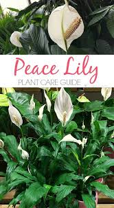 best 25 peace lily ideas on pinterest best indoor plants