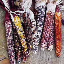 autumn explosion hybrid ornamental corn jung garden and flower