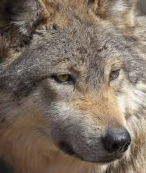 Indiana wild animals images 26 best mexican wolves images mexicans gray wolf jpg