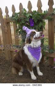 australian shepherd 1 year old molly is an australian shepherd red tri color stock photo royalty