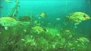 Michigan snorkeling images Higgins lake snorkeling underwater fish cam jpg
