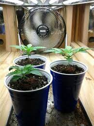 Lil Herb At The Light Day 13 Marijuana Plants Auto Northern Lights Mary Jane