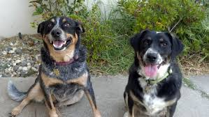 australian shepherd cattle dog lissa context australian cattle dog separation anxiety
