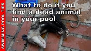 what to do if you find a dead animal in the pool youtube
