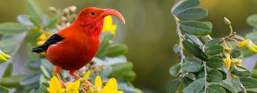 i u0027iwi american bird conservancy