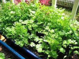 300 wild coriander cilantro caraway vietnamese asian herb