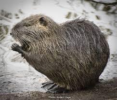 beaver like mammals of new york