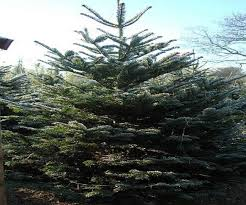 100 plantable christmas trees nj 66 best tree classics