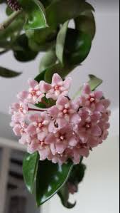 wheel shaped flower buds of stenocarpus sinuatus queensland 77 best weslor flowers plant nursery images on pinterest flowers