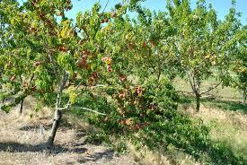 Cherry Tree Fruit - 4 benefits of thinning fruit trees stark bro u0027s