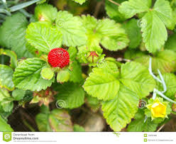 ornamental strawberry coastal strawberry fragaria chiloensis