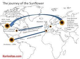 the strange history of the sunflower kuriositas