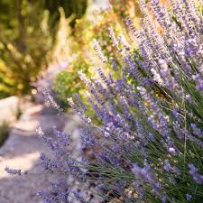 Most Fragrant Lavender Plant - your guide to planting care and harvesting lavender sunset