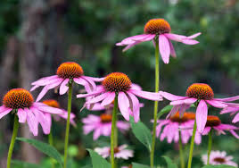 native indigenous plants echinacea 101 traditional medicinals wellness teas