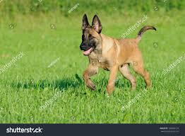 belgian shepherd nature malinois dog puppy belgian shepherd stock photo 103606124