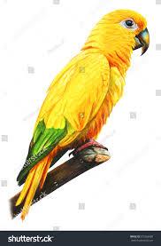 yellow brazilian parrot drawing guarouba guarouba stock