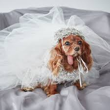 dog wedding dress exclusive get a look at toast the dog s marchesa wedding
