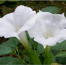 moon flowers 100 large white moon flowers seeds fragrant scented garden plant