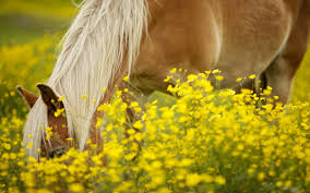 Flower Field Wallpaper - pony in flower field wallpaper 1920x1200 14006