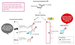 heavy chain light chain hrp direct series high sensitivity hrp labeled antibodies mbl