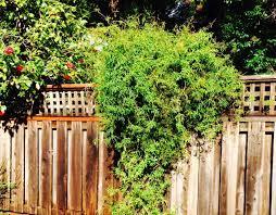 star jasmine on trellis 13 best evergreen vine climbers