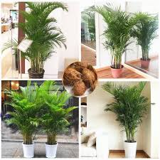 indoor palm 5 pcs chrysalidocarpus lutescens seeds home decoration areca palm