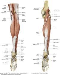 Knee Anatomy Pics Knee U0026 Leg Atlas Of Anatomy