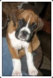 boxer dog youtube ear crop boxer forum boxer breed dog forums