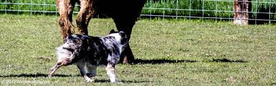 cut n loose australian shepherds links