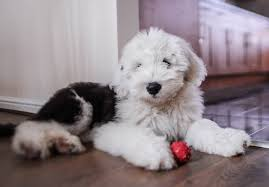 belgian sheepdog for sale in texas old english sheepdog puppies for sale akc puppyfinder