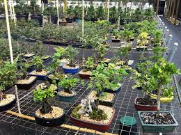 wholesale bonsai pots wholesale bonsai trees h u0026f import bonsai