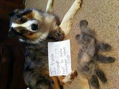 australian shepherd funny guess what deaf dogs make great pets dogster great article