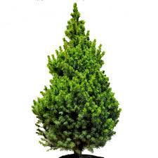 real trees delivery pines and needles