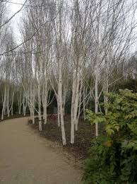 Anglesey Abbey Winter Garden - winter garden white bark trees picture of anglesey abbey lode