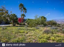 desert wildflowers stock photos u0026 desert wildflowers stock images