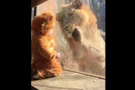 Baby Lion Costume Watch Baby Dressed As Lion Fascinates Real Lion At Atlanta Zoo