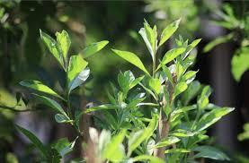 Teh Afrika nama ilmiah pohon daun afrika selatan dain daun afrika inovasi