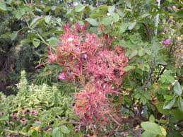 Symptoms Of Viral Diseases In Plants - rose rosette
