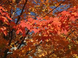acer saccharum sugar maple tree fall colors newark u2026 flickr