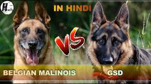 american bulldog x belgian malinois german shepherd vs belgian malinois hindi comparison dog vs