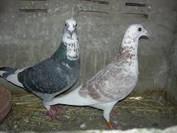 cuisine des pigeons voyageurs pigeon voyageur