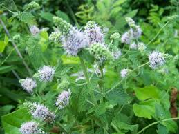 herbs and herbal uses