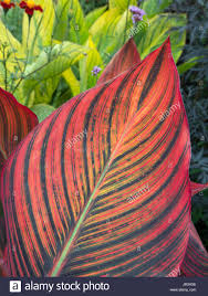 Canna Lily Canna Lily Leaf Close Up In Garden Border Stock Photo Royalty