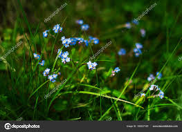 forget me not small blue flowers blurred floral meadow