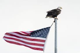 Bald Eagle On Flag Aleuten Alaskas Vergessene Inseln Prime Elements