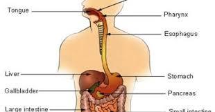 mcq on digestive system mcq biology learning biology through mcqs