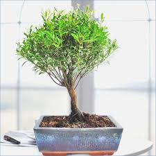 indoor plants singapore bonsai plant singapore waterboard me
