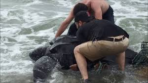 rescuing a leatherback turtle june 9 2016 knob beach falmouth